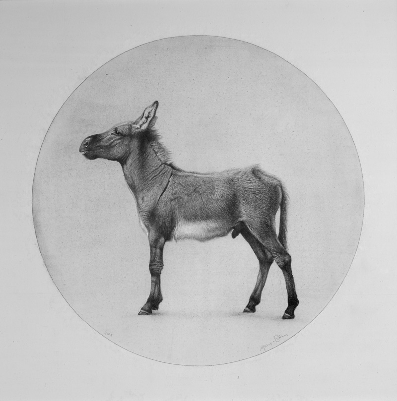 Maurizio Bottoni, Asino, 2008, punta d'argento su carta, 32x32 cm